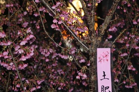 20180130土肥桜.JPG