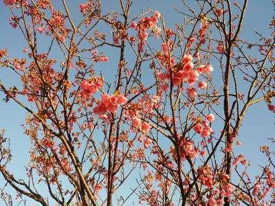 20150126土肥桜.jpg